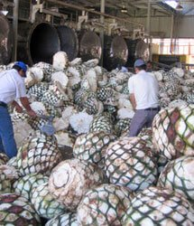 In search of the giant blue agave